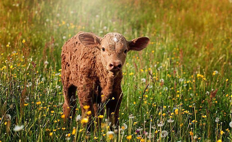 Warum du kein Fleisch essen solltest-suesses-Kalb