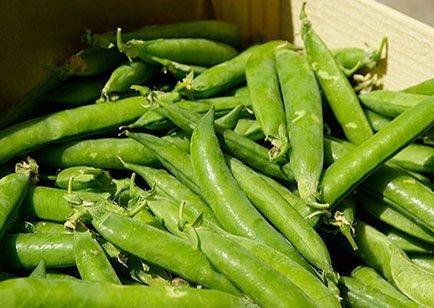 bohnen-protein-lieferant-klein