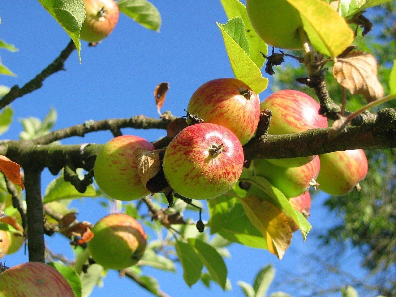 apple-tree-360083_1280
