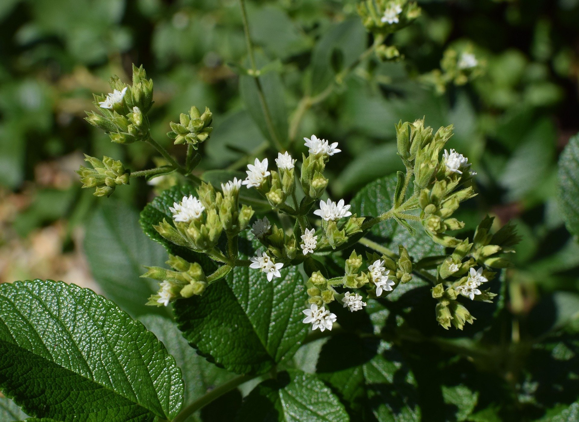 Süßungsmittel Stevia