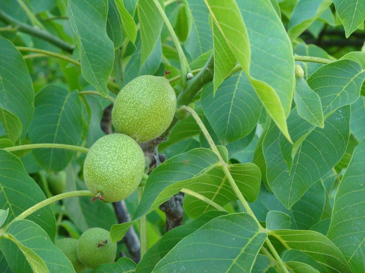 walnut-tree-1127686_1280