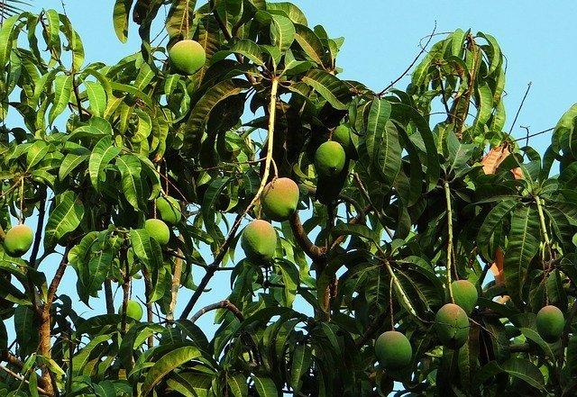 mango-tree-321075_640