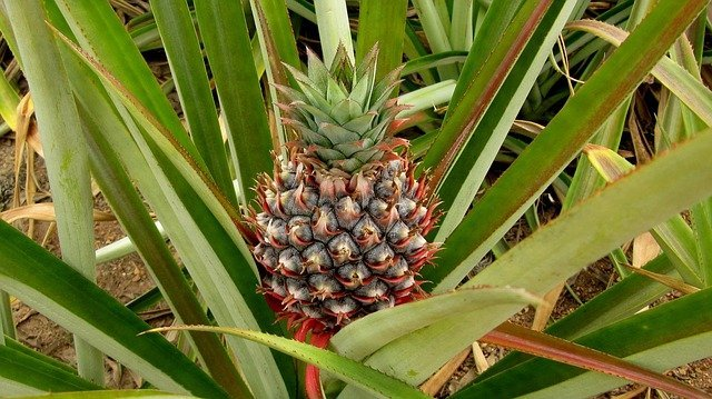Ananas - bietet Abkühlung bei Sommerhitze
